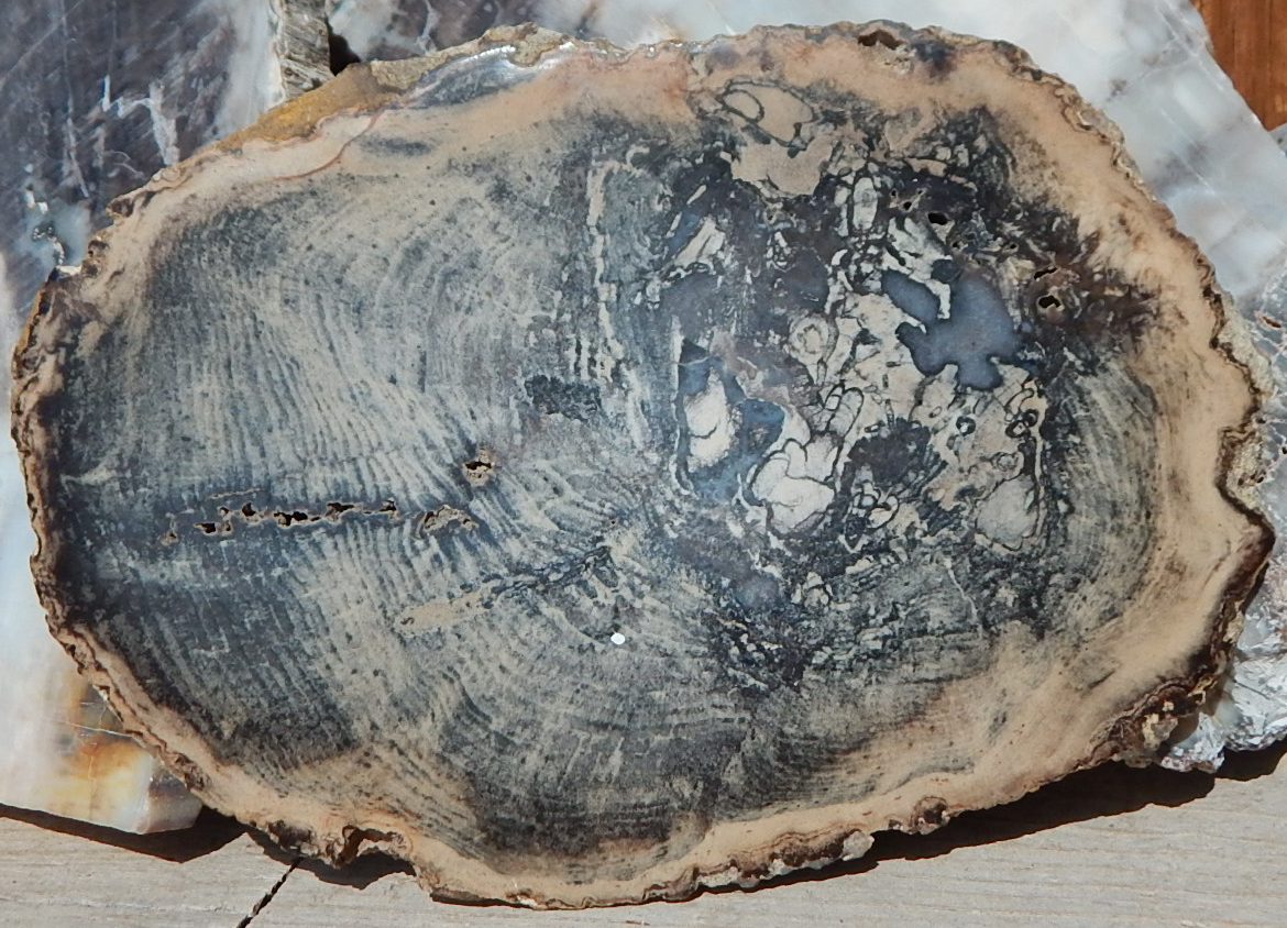 Unknown location petrified wood slab