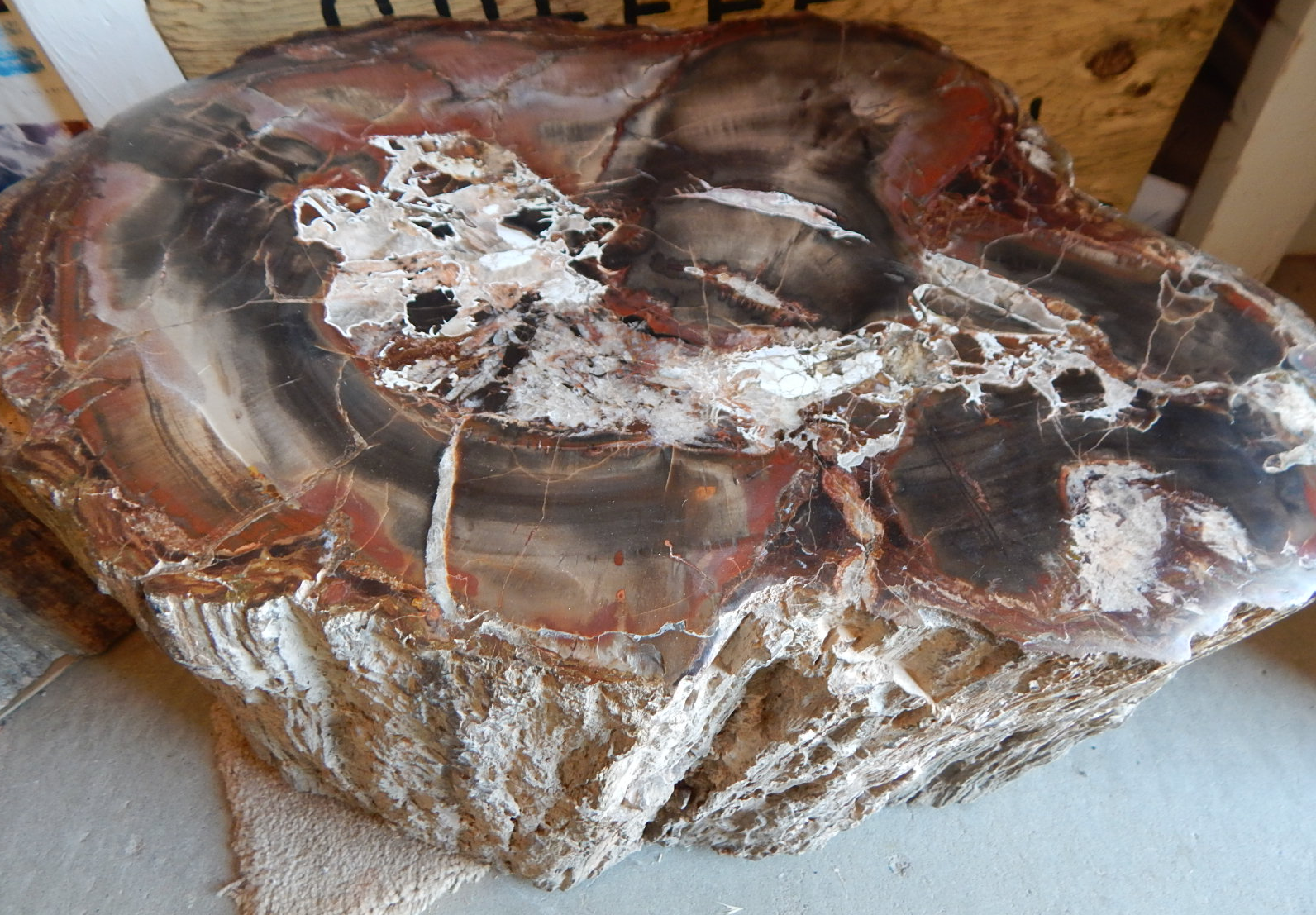 circle cliffs petrified wood large contour polished round