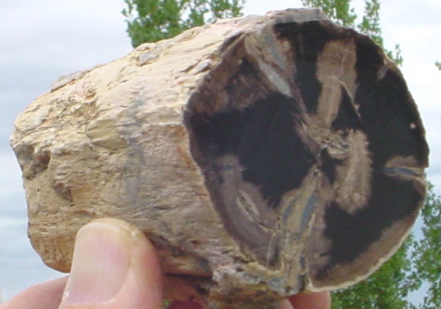 Blue Forest Petrified Wood